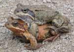 Pairing Toads