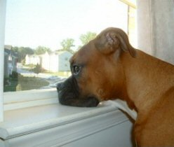 Boxer, staring out the window